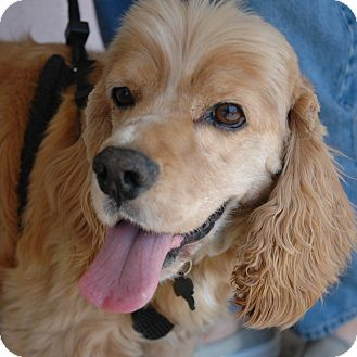 Cocker Spaniel Dog for adoption in Sacramento, California - Coffee