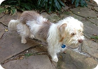 Lhasa Apso/Poodle (Miniature) Mix Dog for adoption in Houston, Texas - Parker