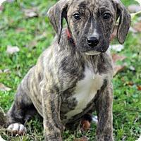 Adopt A Pet :: Gareth - Staunton, VA