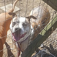 Pit Bull Terrier/Staffordshire Bull Terrier Mix Dog for adoption in Covington, Tennessee - Jewel