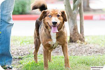 Australian Shepherd/Golden Retriever Mix Dog for adoption in Seattle, Washington - Chelsea, Lately