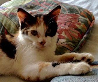 Domestic Shorthair Cat for adoption in Colorado Springs, Colorado - Dominique