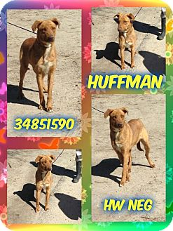 Labrador Retriever/Shepherd (Unknown Type) Mix Dog for adoption in Kenansville, North Carolina - HUFFMAN