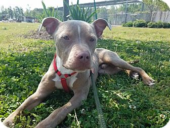 Pit Bull Terrier Mix Dog for adoption in Windsor, Virginia - Buddy
