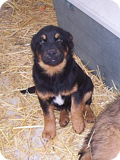 Rottweiler/Labrador Retriever Mix Puppy for adoption in Chewelah, Washington - Sarge