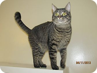 Domestic Shorthair Cat for adoption in Acushnet, Massachusetts - Toddy