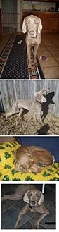 Weimaraner Dog for adoption in Birmingham, Alabama - Sheldon