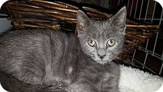 Domestic Shorthair Kitten for adoption in Tampa, Florida - Abbot