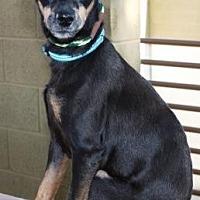 Adopt A Pet :: Alli - Gilbert, AZ