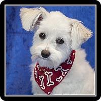 Adopt A Pet :: Comet - San Diego, CA