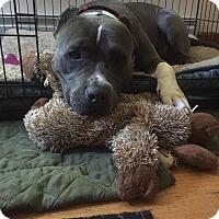 Adopt A Pet :: Dutchess - Bronx, NY