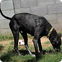 Adopt A Pet :: Hubble - Phoenix, AZ