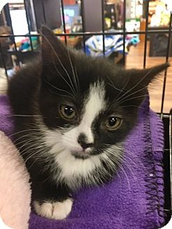 Domestic Shorthair Kitten for adoption in River Edge, New Jersey - Biscotti