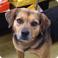 Adopt A Pet :: LB Little Bit - Olive Branch, MS