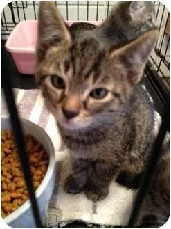 Domestic Shorthair Kitten for adoption in Wenatchee, Washington - Kitten