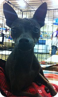 Rat Terrier Mix Dog for adoption in Gainesville, Florida - MJ