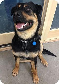 Labrador Retriever/Australian Shepherd Mix Dog for adoption in Huntsville, Ontario - Bear - Adoption Pending!