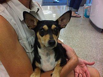 Miniature Pinscher/Terrier (Unknown Type, Medium) Mix Dog for adoption in Fresno, California - Jordan