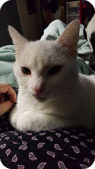 American Shorthair Cat for adoption in Hopkinsville, Kentucky - Elvis