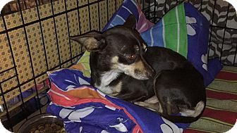 Chihuahua Mix Dog for adoption in Loxahatchee, Florida - Guido
