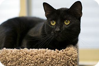 Domestic Shorthair Cat for adoption in Fremont, Nebraska - Scooter