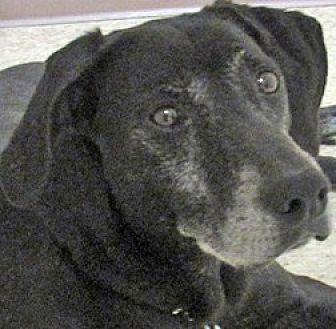 Rat Terrier/Labrador Retriever Mix Dog for adoption in Clifton Forge, Virginia - Bart
