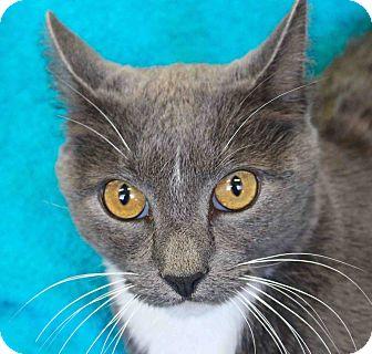 Domestic Shorthair Cat for adoption in Lansing, Kansas - Melanio