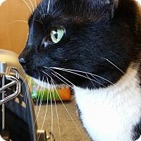 Domestic Shorthair Cat for adoption in Burlington, North Carolina - Sissy