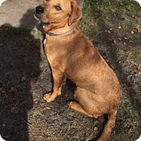 Adopt A Pet :: RoBear - Jacksonville, FL