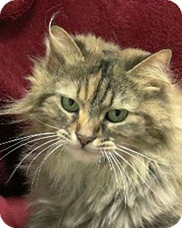 Domestic Longhair Cat for adoption in Rochester, New York - Trixie