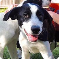 Adopt A Pet :: NADIA - Joplin, MO