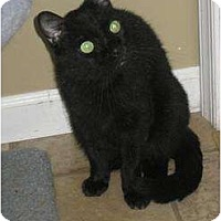 Domestic Shorthair Cat for adoption in Bloomsburg, Pennsylvania - Bijou