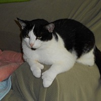 Domestic Shorthair Cat for adoption in Naples, Florida - Opal