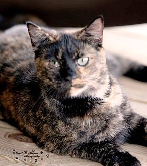 Domestic Shorthair Cat for adoption in Transfer, Pennsylvania - Tamara