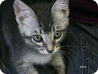 Domestic Shorthair Kitten for adoption in Republic, Washington - MaryJane