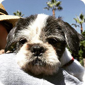 Shih Tzu Mix Dog for adoption in Rancho Santa Fe, California - Moo