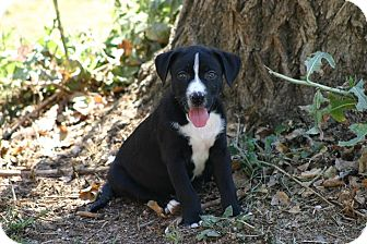 Border Collie/American Staffordshire Terrier Mix Puppy for adoption in Lincoln, California - PUPPY - Sloan!!