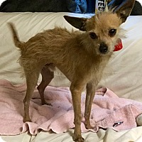 Terrier (Unknown Type, Small)/Chihuahua Mix Dog for adoption in Phoenix, Arizona - Christopher