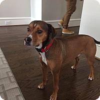 Adopt A Pet :: Bear - Monroe, NC