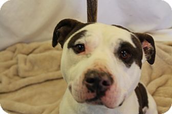 American Pit Bull Terrier Dog for adoption in Huachuca City, Arizona - Butters
