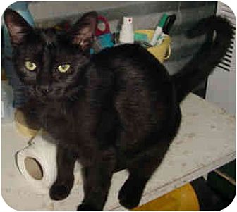 Domestic Shorthair Cat for adoption in Thibodaux, Louisiana - Hexaba FE1-7308