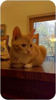 Domestic Shorthair Cat for adoption in Cincinnati, Ohio - Fritz