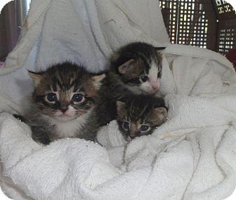 Domestic Mediumhair Kitten for adoption in Barnegat, New Jersey - Lucky
