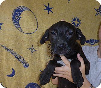 Labrador Retriever Mix Puppy for adoption in Oviedo, Florida - Tammy