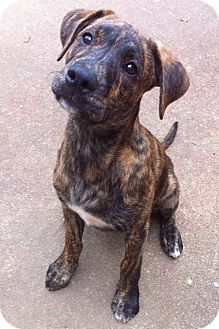 Boxer/Labrador Retriever Mix Puppy for adoption in Chattanooga, Tennessee - Baxter