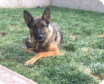 German Shepherd Dog Mix Dog for adoption in Walnut Creek, California - Freedom
