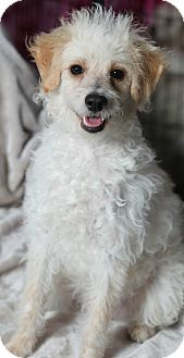 Poodle (Miniature)/Labradoodle Mix Dog for adoption in Beverly Hills, California - ROCCO GRAYSON