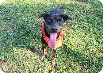 Rottweiler Mix Dog for adoption in Lexington, North Carolina - GUNTER
