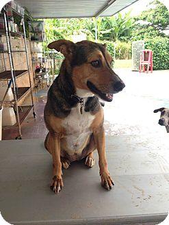 Shepherd (Unknown Type) Mix Dog for adoption in Waipahu, Hawaii - Poi