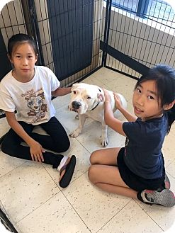 American Pit Bull Terrier Mix Dog for adoption in Newport Beach, California - Hope